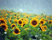 Sunflowers in the Rain