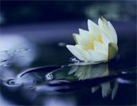 Flower in Water- Alan Tam